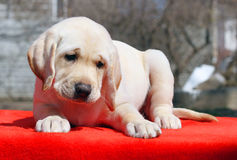 A nice labrador puppy on the red background Stock Photography