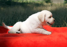 A nice labrador puppy on a red background Stock Image