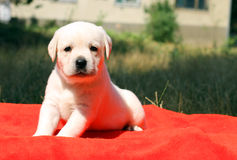 A nice labrador puppy on a red background Stock Photography