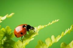 Nice ladybug on fern on green background Stock Images