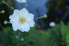Beautiful white Japanese anemone flower royalty free stock photo