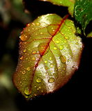 Nice leaf. Beautiful green leaf in the garden with waterdrops Stock Image