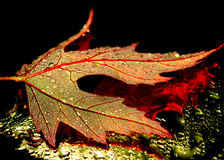 Nice leaf. Beautiful marple  leaf  with waterdrops Stock Photography