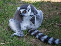 Nice lemur sits on the grass. stock photography