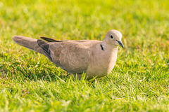 Nice light grey turtledove bird perched on lawn. Horizontal photo of nice single turtledove. The love bird is perched in the garden on green lawn. The feathers Stock Photo