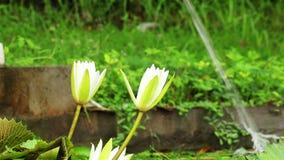 Nice lily pond view stock video