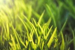 Nice line of fresh green grasses with evening sunligh. T. Summer or spring background. Soft focus royalty free stock photos