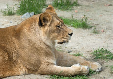 Nice Lioness Royalty Free Stock Photos