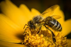 Nice little bee working on a yellow blossom. Nice little bee collecting pollen on a blossom Royalty Free Stock Images