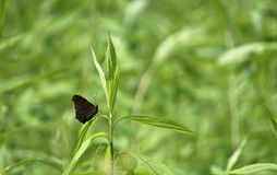 A butterfly in the grass. A nice and little black butterfly in the green grass Royalty Free Stock Photo