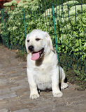 The nice little cute labrador puppy n the garden Royalty Free Stock Photography