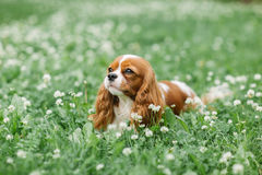 Nice little dog lying on the grass Stock Images