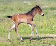 Nice little foal running on pasture Royalty Free Stock Photo