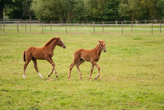 Nice little foals on pasture Stock Image