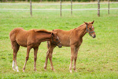 Nice little foals on pasture Royalty Free Stock Photos
