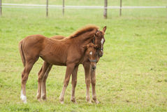 Nice little foals on pasture Stock Photo