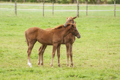 Nice little foals on pasture Royalty Free Stock Photo