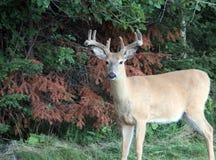 Nice little four point buck near Kenora Ontario