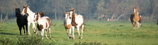 Nice little herd of foal's. This herd of 7 colorfull foal's are running towards dinner Royalty Free Stock Photography