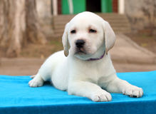 The nice little labrador puppy on blue background Stock Images