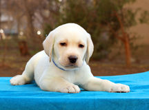 Nice little labrador puppy on blue background Royalty Free Stock Images