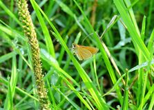 Beautiful butterfly on green grass, Lithuania. Nice little orange butterfly on grass with morning dew royalty free stock photo