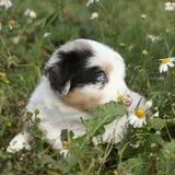 Nice little puppy of australian shepherd in flowers Stock Photo