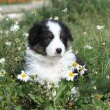 Nice little puppy of australian shepherd in flowers Royalty Free Stock Image