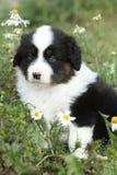Nice little puppy of australian shepherd in flowers Stock Photography