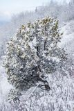Lone Juniper on the South Slope with Snow. A nice lonely juniper tree on a south facing slope is contrasting with the boreal forests of northern Canada royalty free stock photos