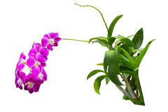 Nice long stem of Purple Thai Orchid Stock Images