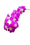 Nice long stem of Purple Thai Orchid Royalty Free Stock Image