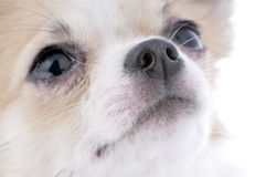 nice looking chihuahua portrait close-up Royalty Free Stock Images