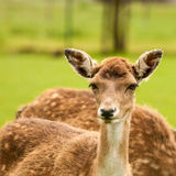 Nice looking fawn in the sun Stock Images