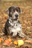 Louisiana Catahoula dog with small pumpkins in Autumn Royalty Free Stock Photo