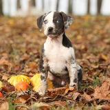 Louisiana Catahoula puppy with pumpkins in Autumn Stock Images