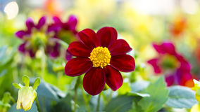 Nice magenta flower on flowerbed Royalty Free Stock Photo