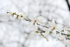 Nice magnolia branch. Photo of Nice white magnolia flowers branch Stock Photos