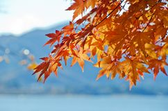 Nice Maples to Sunlight Royalty Free Stock Image