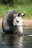 Nice mare bathing in the river Stock Image