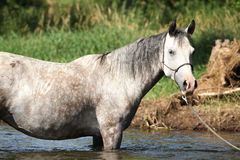 Nice mare bathing in the river Stock Photography