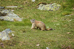 Nice marmot on the spanish mountain Pyrenees.  stock images