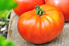 A nice meaty tomato Stock Photos