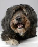 Nice mixedbreed dog relaxing in a studio. Nice mixedbreed dog relaxing in studio Stock Photo