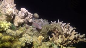 Mooray lycodontis undulatus in the Red Sea, eilat israel  m.m stock video