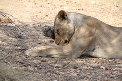 Female lionduring  day time  at ruaha national park tanzania. Nice and most aware some picture taken after waking up of this lion Stock Image