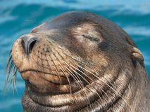 The nice moustache of the sea lion. Closeup of a sea lion with nice mustache and happy face taking sun Royalty Free Stock Image