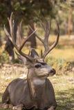 Nice Mule Deer Buck Bedded Stock Images