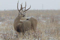 Nice Mule Deer Buck Royalty Free Stock Photography