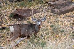 Nice Mule Deer Buck in Velvet. A nice mule deer buck in velvet in Utah royalty free stock image